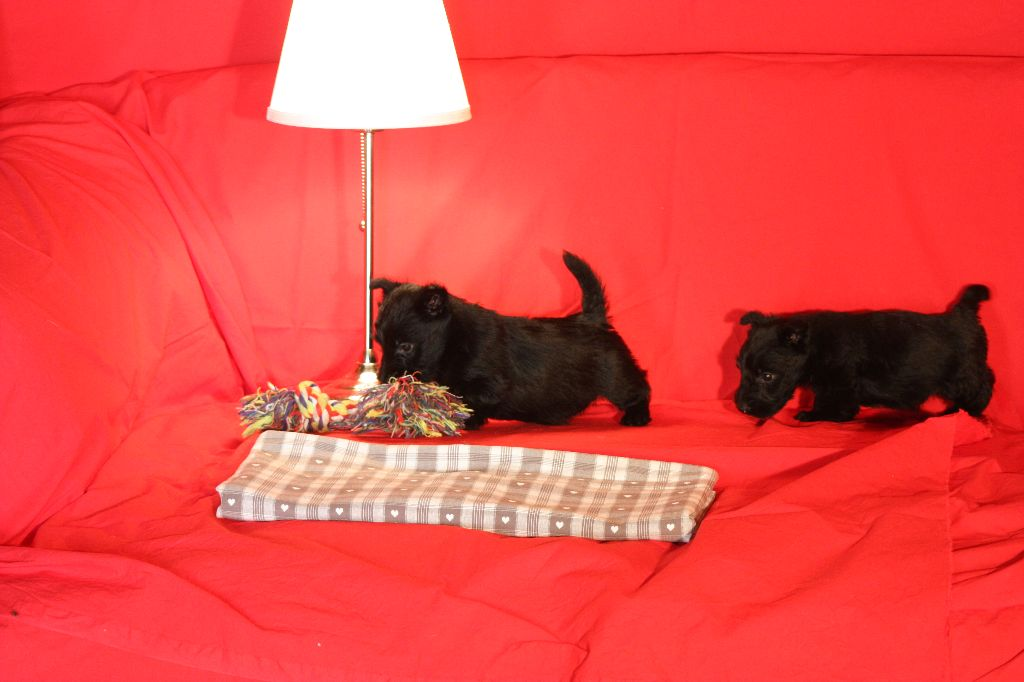 du Harpouy D'Auzan - Chiot disponible  - Scottish Terrier