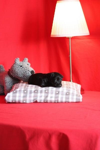 du Harpouy D'Auzan - Scottish Terrier - Portée née le 27/09/2016