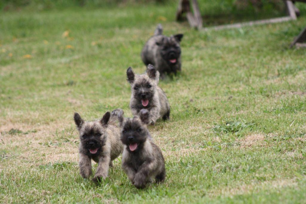 du Harpouy D'Auzan - Cairn Terrier - Portée née le 01/04/2018