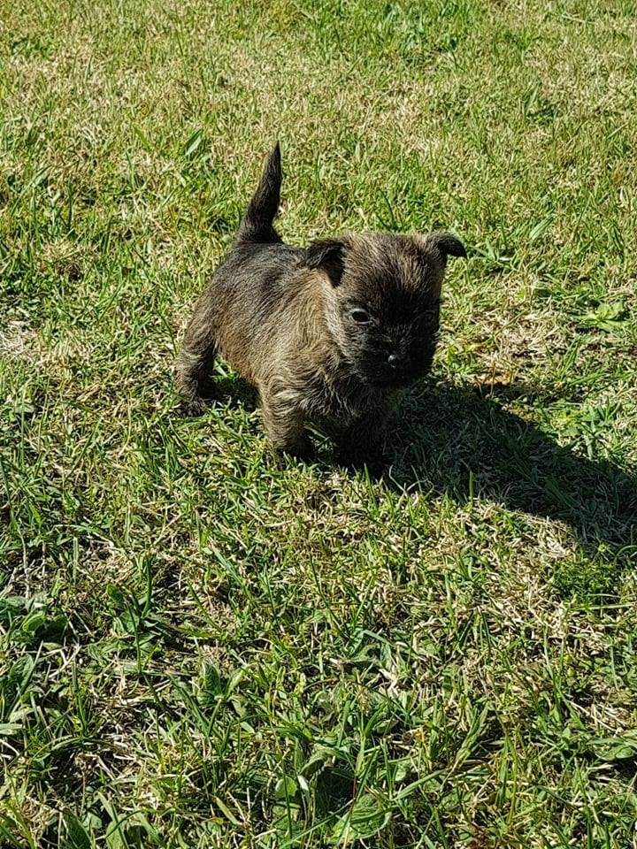 du Harpouy D'Auzan - Chiot disponible  - Cairn Terrier