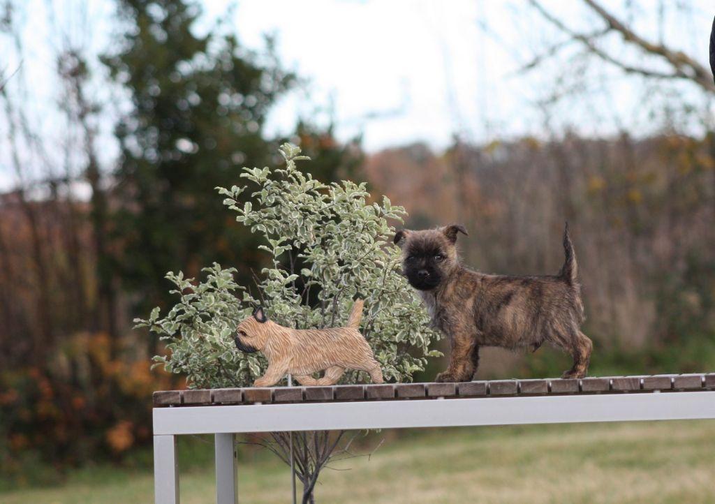 du Harpouy D'Auzan - Cairn Terrier - Portée née le 20/09/2017