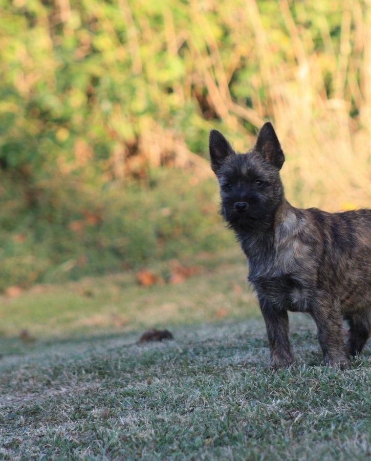 du Harpouy D'Auzan - Chiot disponible  - Cairn Terrier