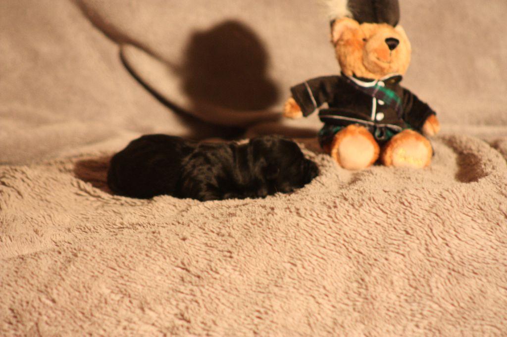 du Harpouy D'Auzan - Scottish Terrier - Portée née le 10/04/2017