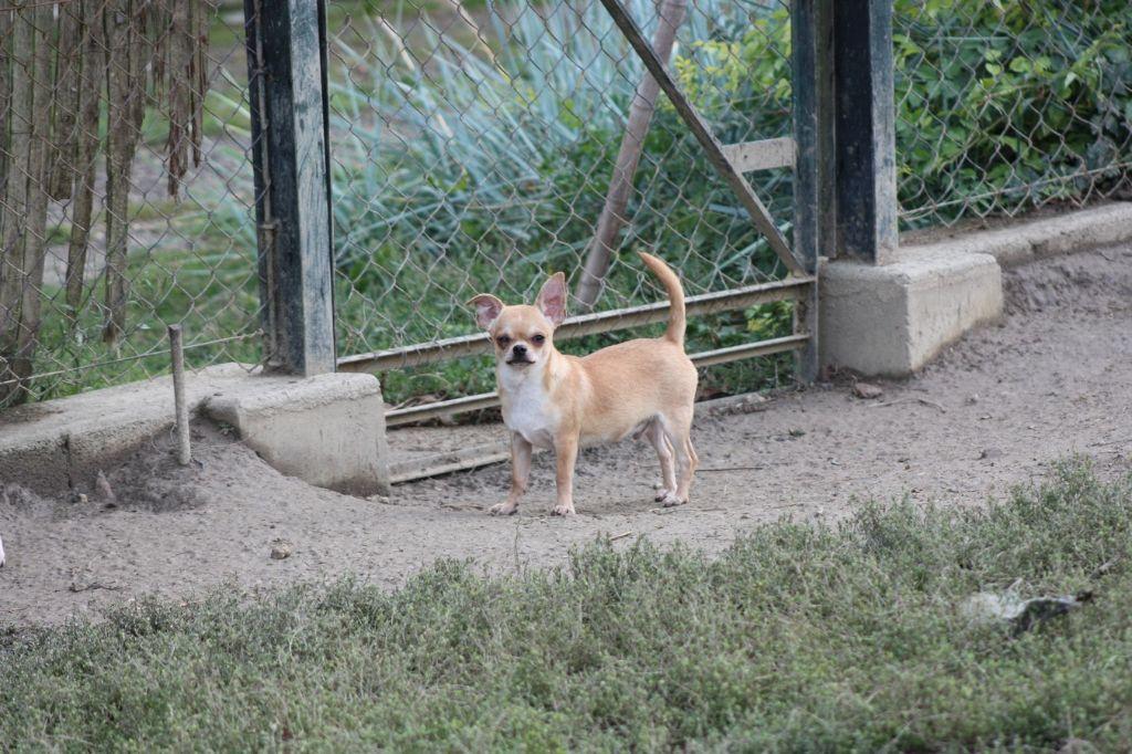 du Harpouy D'Auzan - Chiot disponible  - Chihuahua