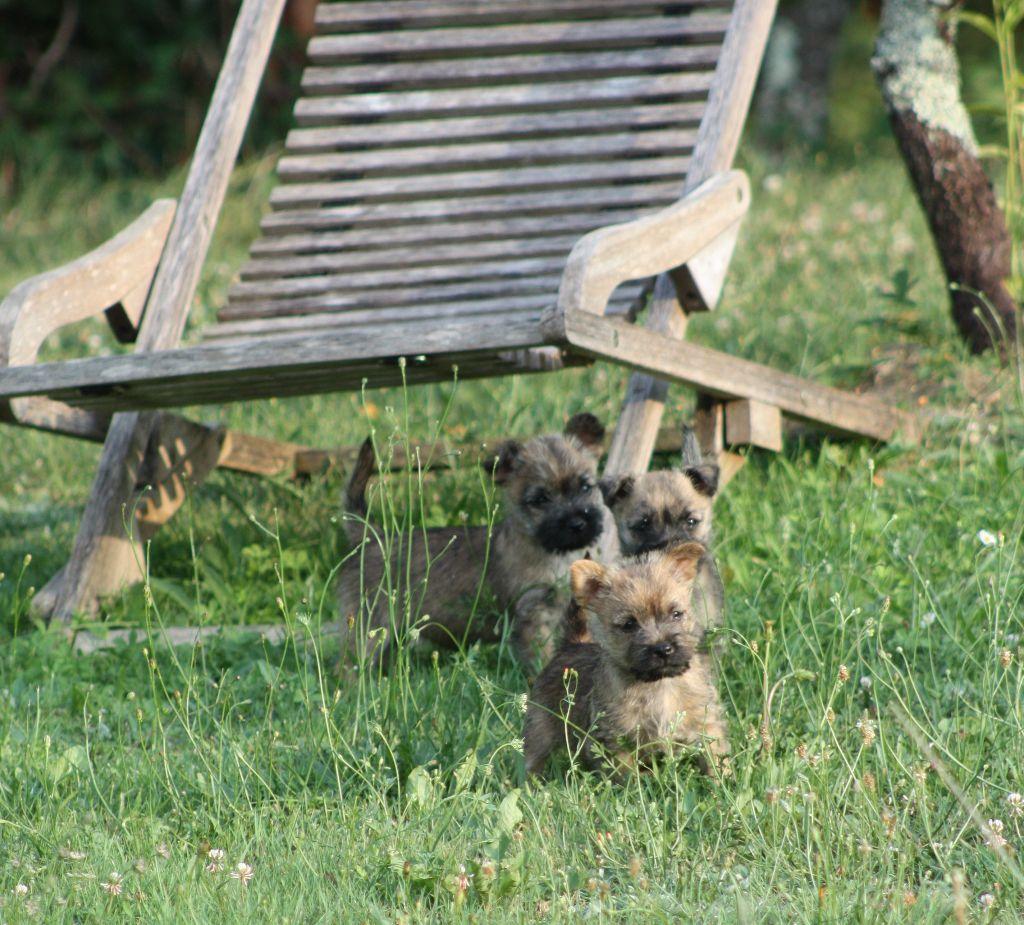 chiot Cairn Terrier du Harpouy D'Auzan