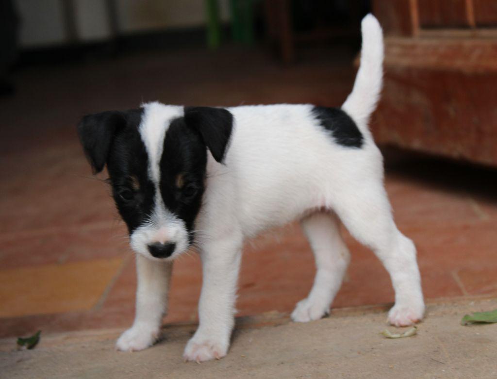 De la forge saint eloi - Chiot disponible  - Jack Russell Terrier