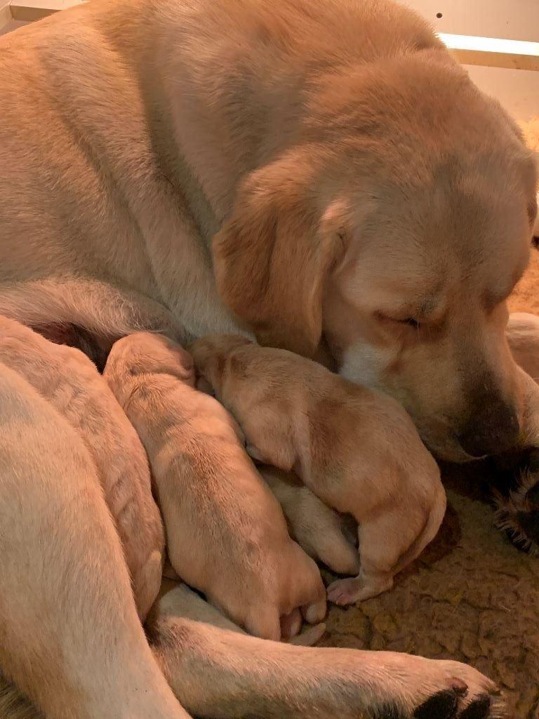 De sandie landes - Chiot disponible  - Labrador Retriever