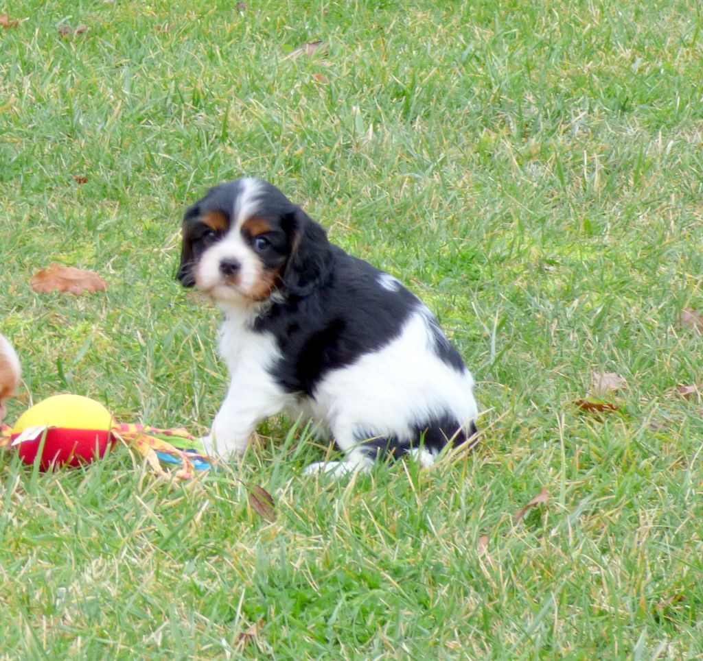 Femelle tricolore - Cavalier King Charles Spaniel