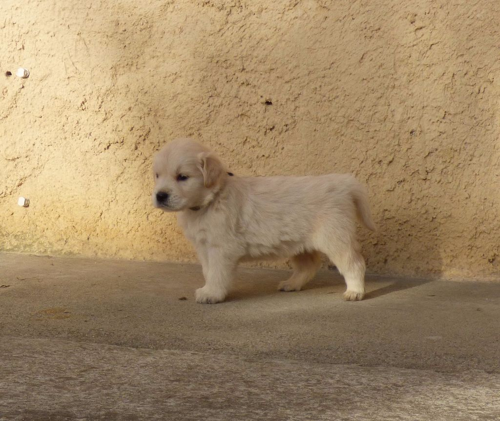 de la bergerie d'argent - Chiot disponible  - Golden Retriever