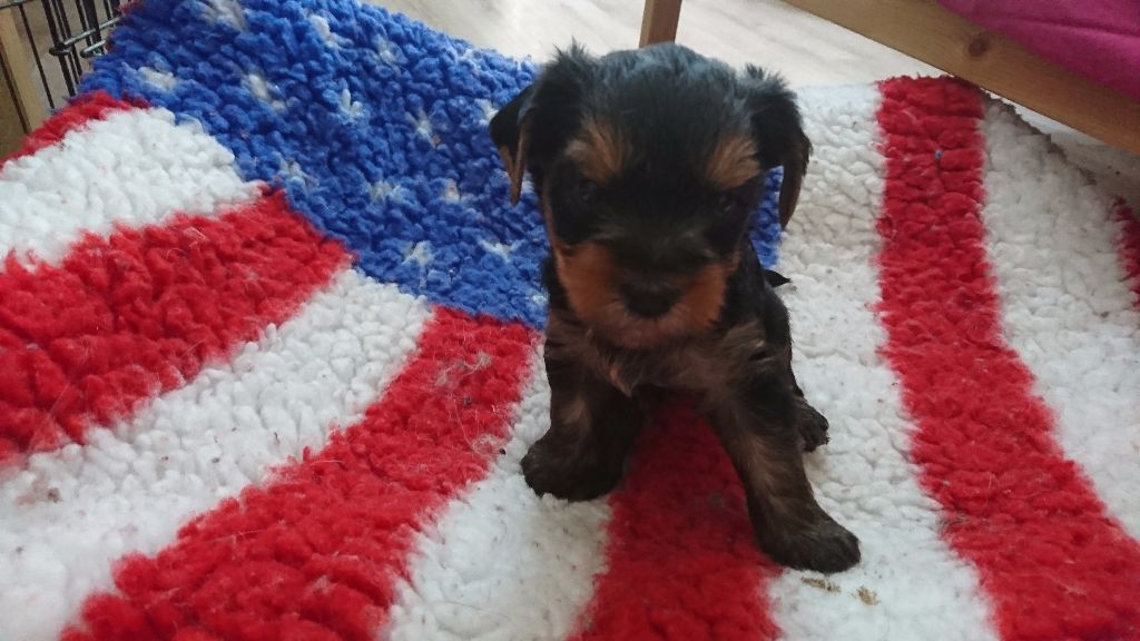 De L'ange Blanc - Chiot disponible  - Yorkshire Terrier