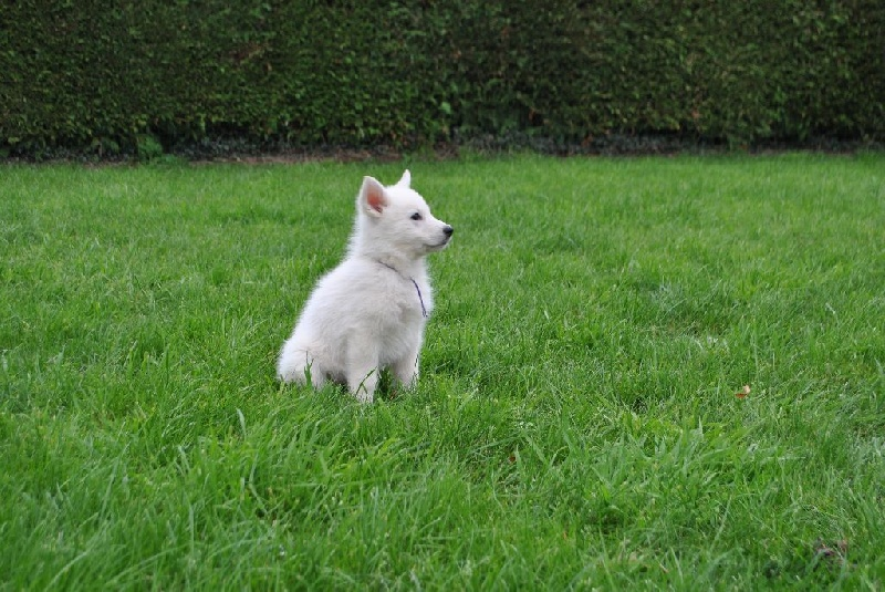 Bleizi Asgard - Chiot disponible  - Berger Blanc Suisse