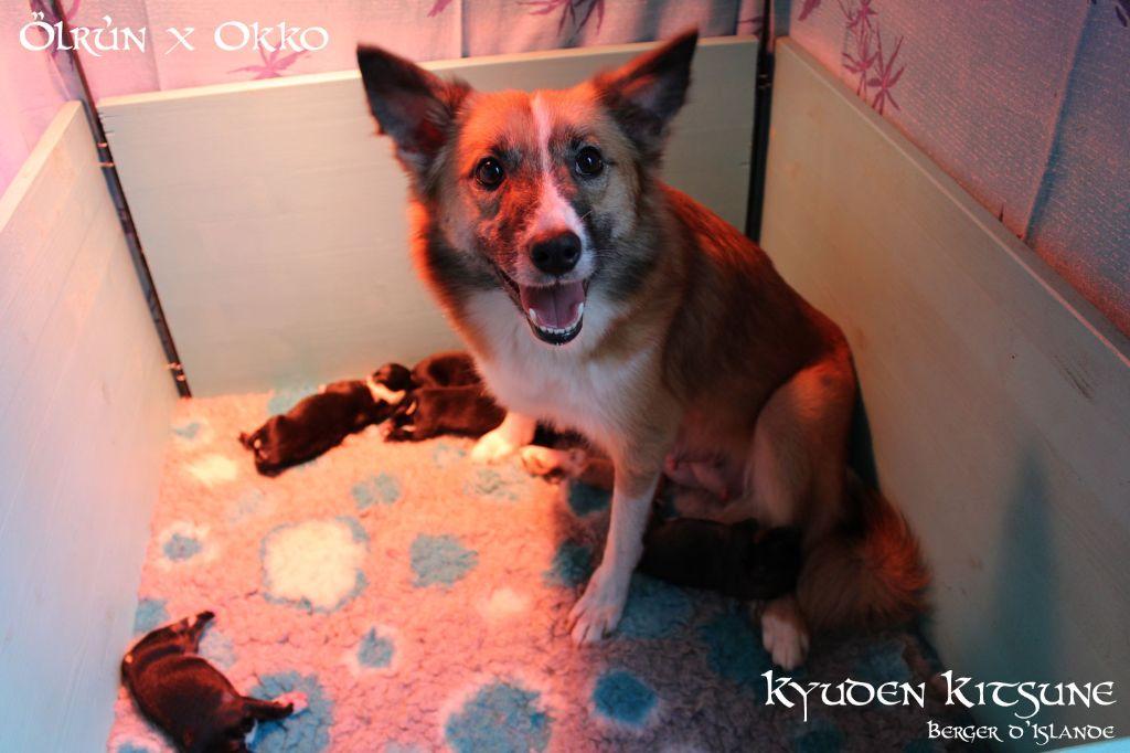 Kyuden Kitsune - Les chiots d'Ölrun sont nés le 10 mars 2021 !