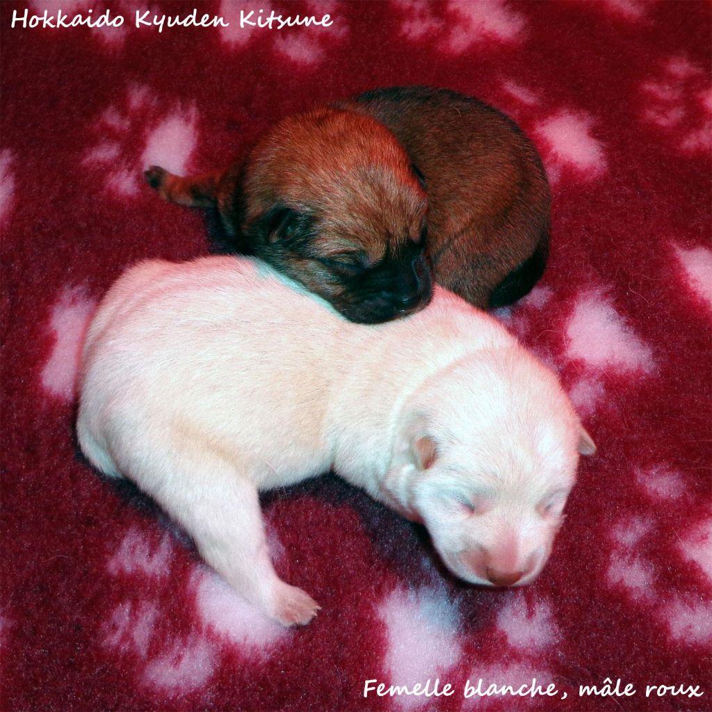 Kyuden Kitsune - Hokkaïdo - Portée née le 25/12/2014