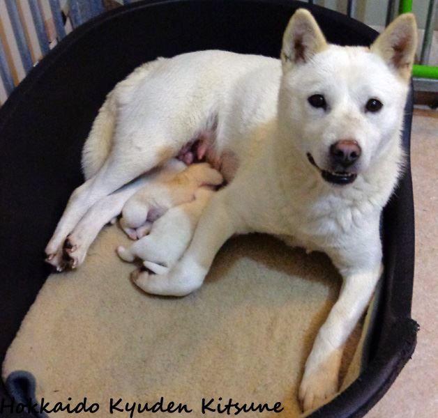 Kyuden Kitsune - Hokkaïdo - Portée née le 16/12/2013