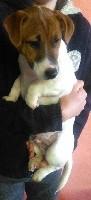 Jack Russell Terrier - du domaine du rupt de mad