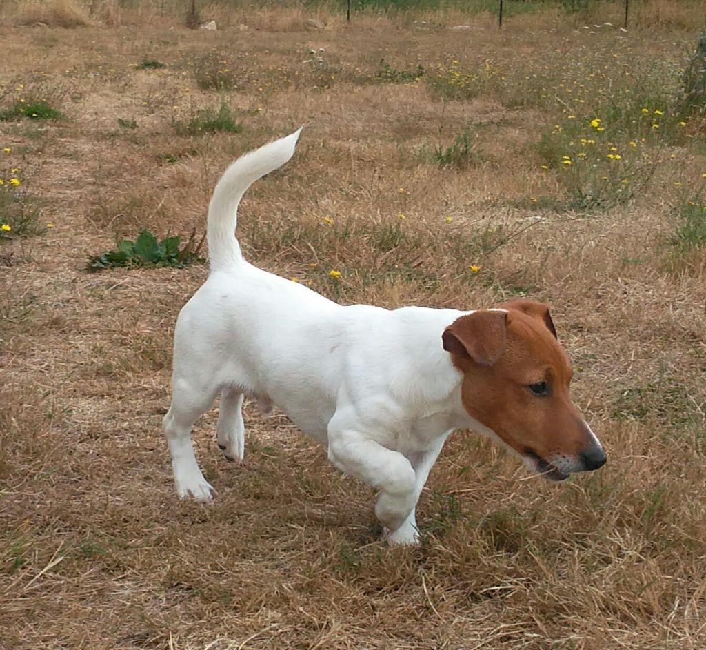 du domaine du rupt de mad - Chiot disponible  - Jack Russell Terrier