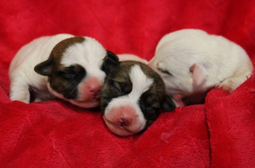 chiot Jack Russell Terrier Du normont