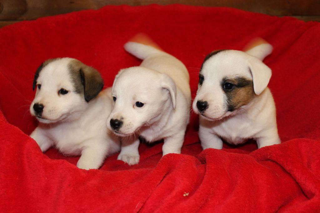 Du normont - Jack Russell Terrier - Portée née le 20/11/2020