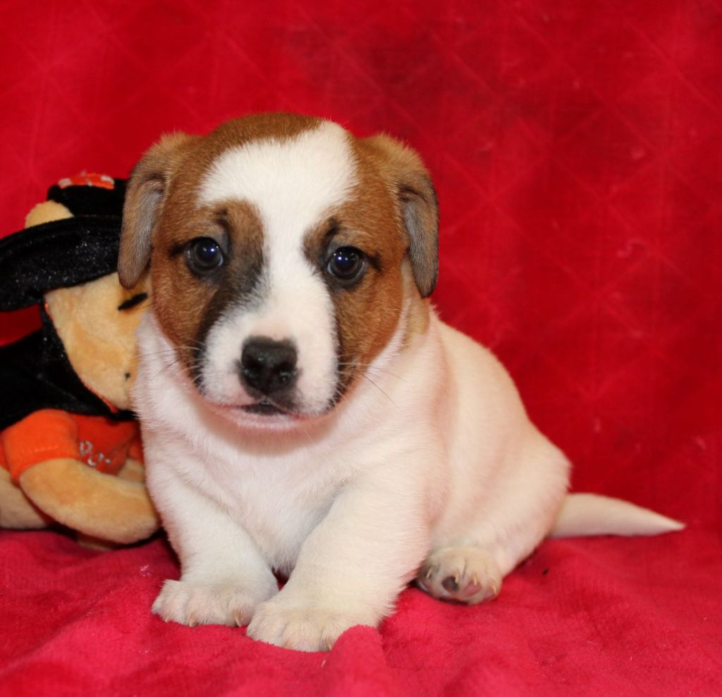 Du normont - Chiot disponible  - Jack Russell Terrier