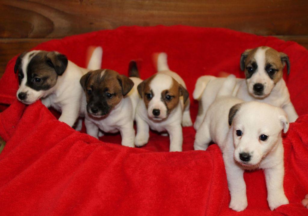 Du normont - Jack Russell Terrier - Portée née le 22/11/2020