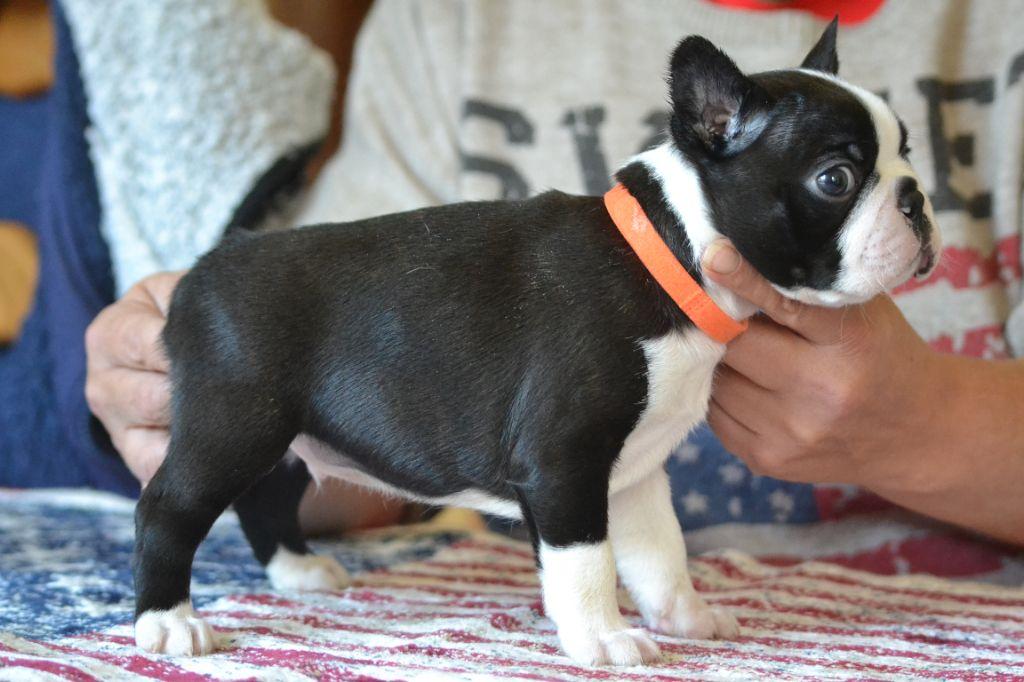 vom norden haus - Chiot disponible  - Boston Terrier