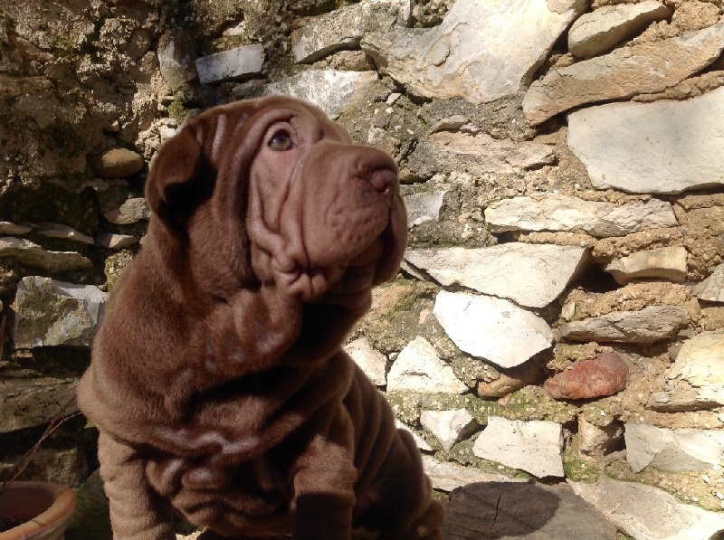 Mih aghy san - Chiot disponible  - Shar Pei