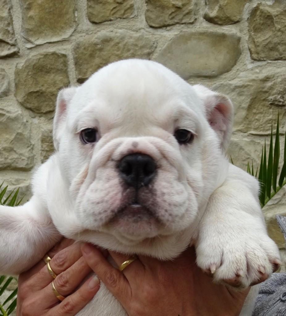 Mack Sweet British Bulls - Chiot disponible  - Bulldog Anglais
