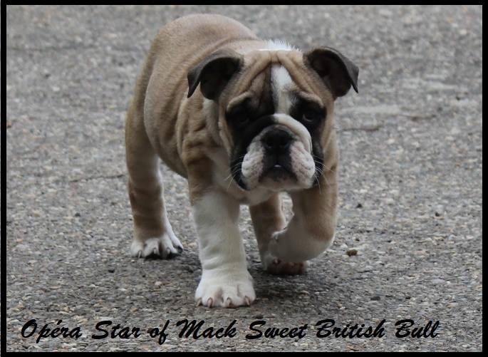 Mack Sweet British Bulls - Chiot disponible  - Bulldog Anglais