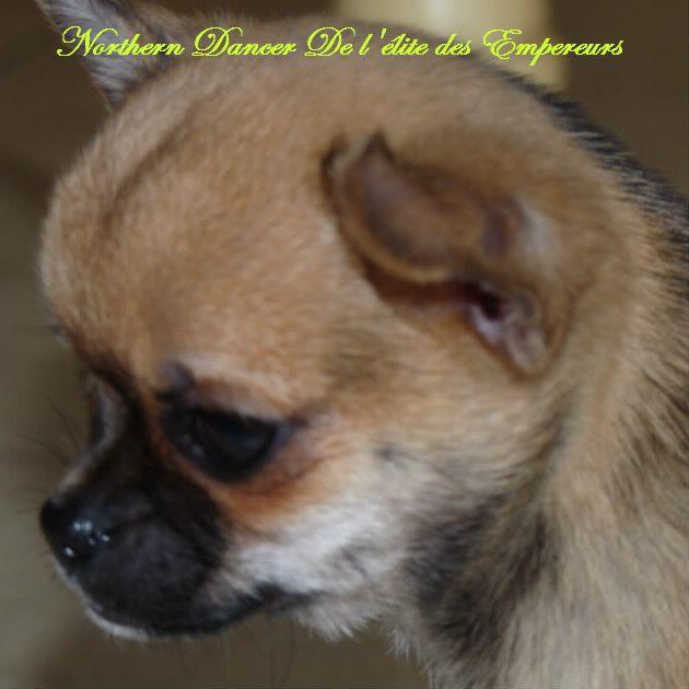 De l'élite des empereurs - Chiot disponible  - Chihuahua