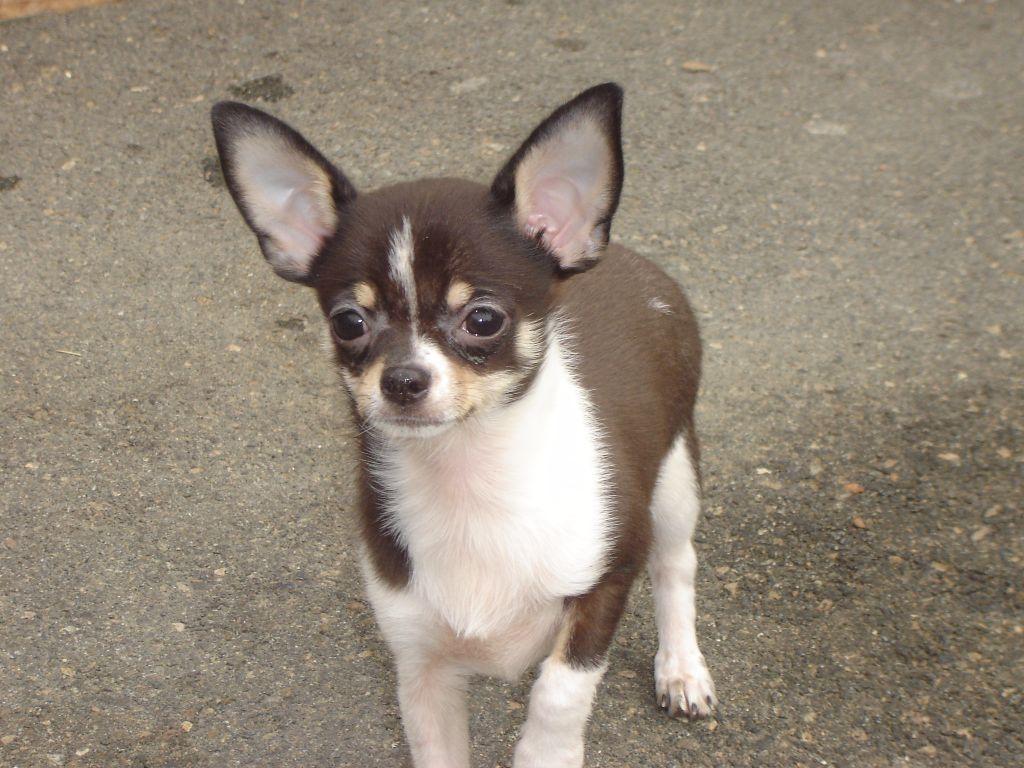 nabab du royaume de casablle  - Chihuahua