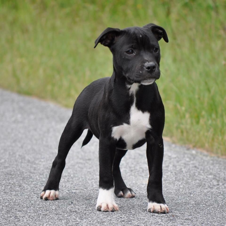 de bluedogcity - Chiot disponible  - Staffordshire Bull Terrier
