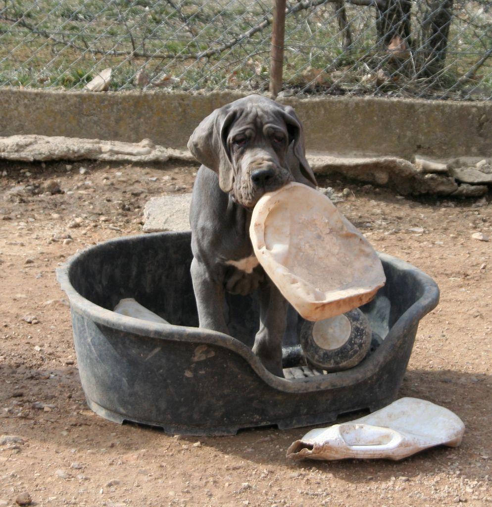 Mâle collier noir - Dogue allemand