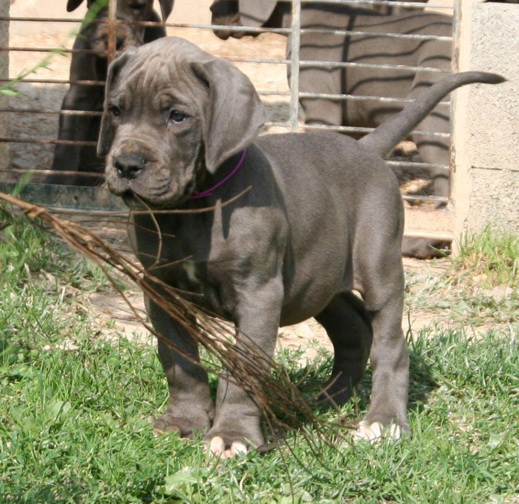 de l'Outsaïna - Chiot disponible  - Dogue allemand