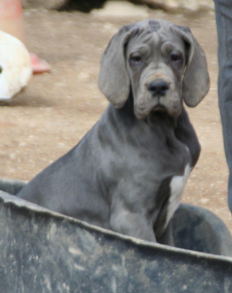Femelle  - Dogue allemand
