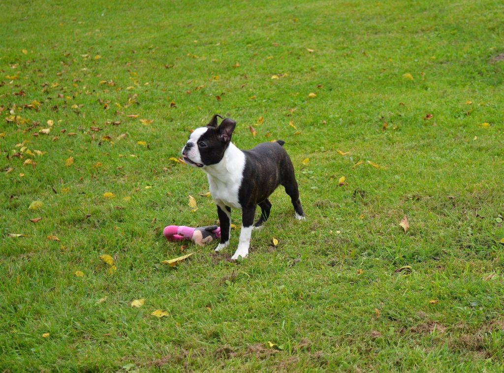 of Penny Park - Chiot disponible  - Boston Terrier