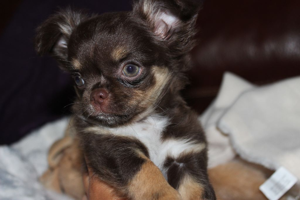 de la cour aux Paons - Chiot disponible  - Chihuahua