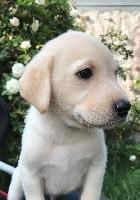 Labrador Retriever - Du haut de crecy