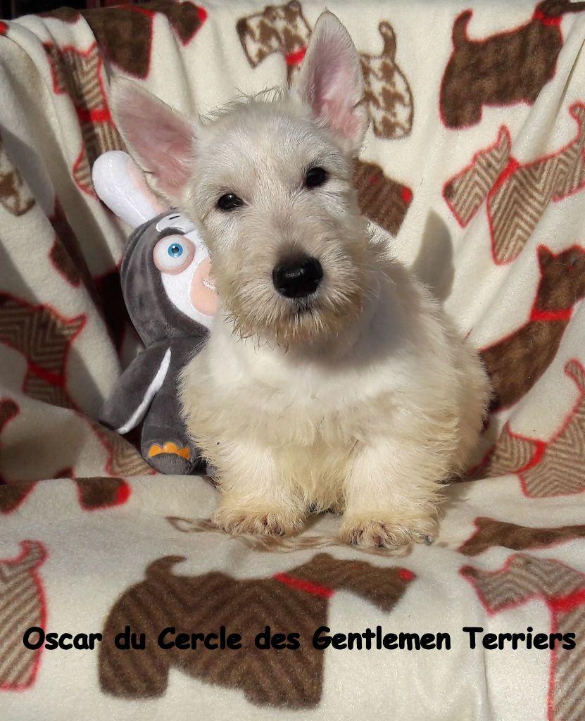 du cercle des gentlemen terriers - Chiot disponible  - Scottish Terrier