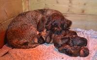 Teckel poil dur - chiots standard poil dur - de l'orée du bois roux