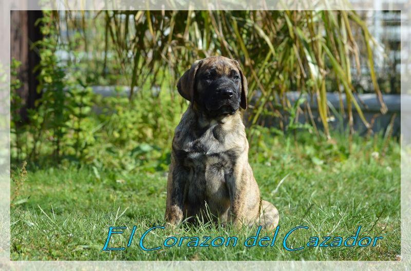 El Corazon Del Cazador - Chiot disponible  - Dogo Canario