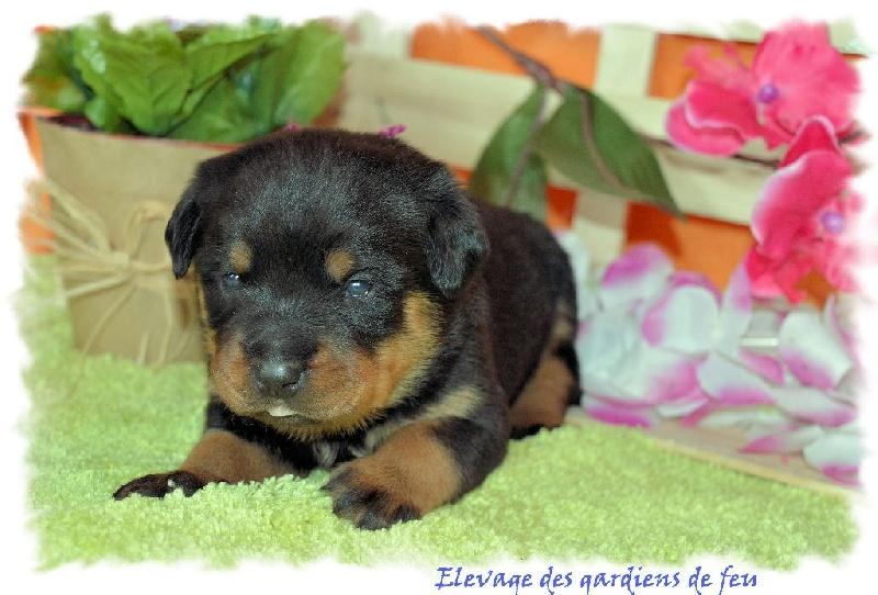 des gardiens de feu - Chiot disponible  - Rottweiler