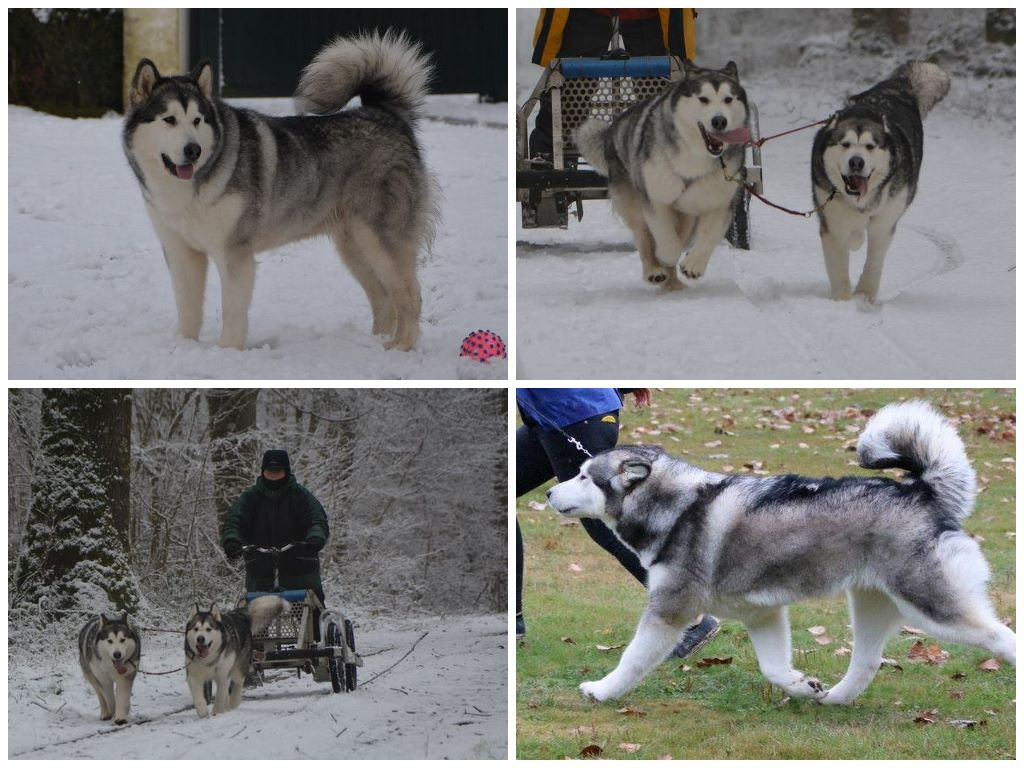 club de race malamute