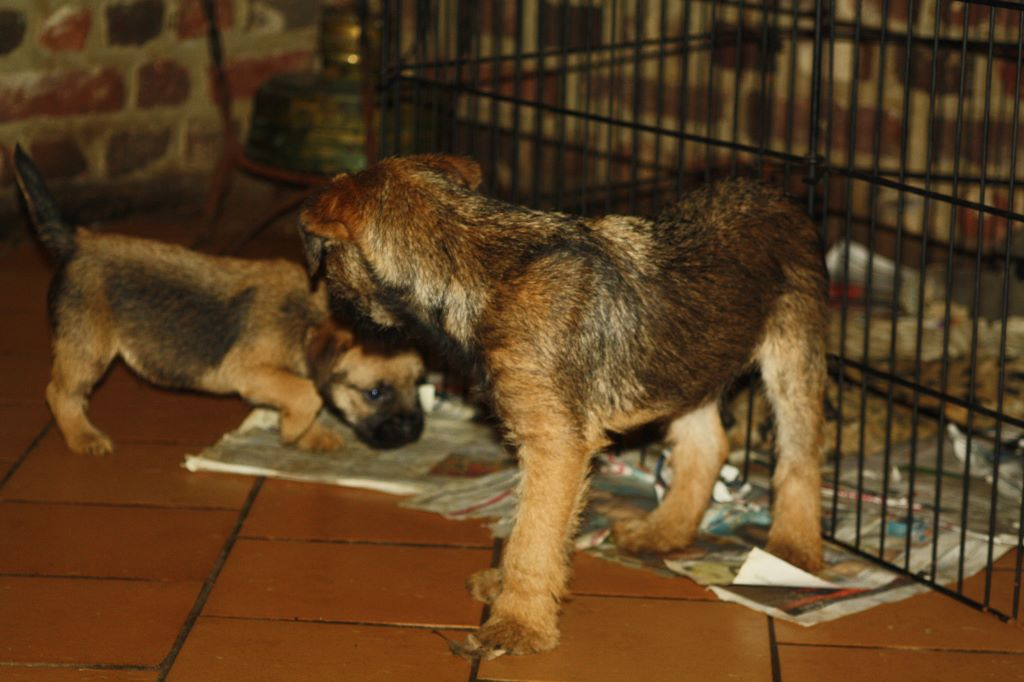 Du moulin du temple - Chiot disponible  - Border Terrier