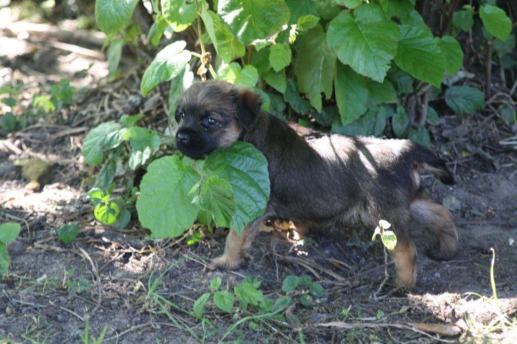 Du moulin du temple - Chiot disponible  - Border Terrier