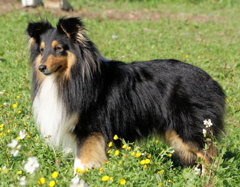 Photo elevage du grain de soleil eleveur de chiens shetland sheepdog - Bisounours tout curieux ...