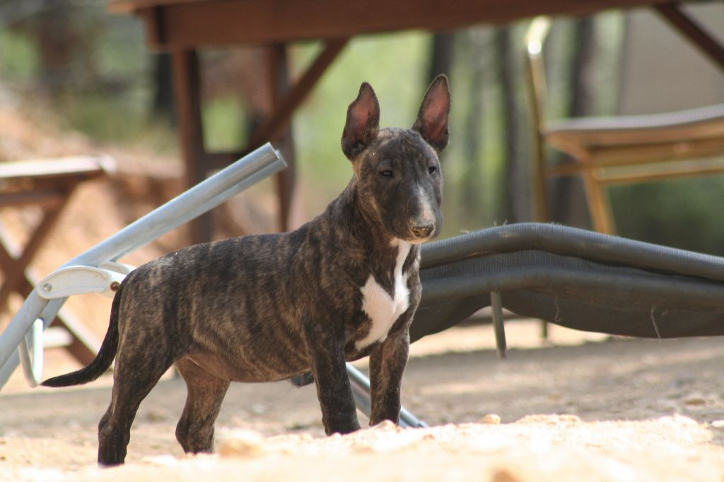 So Addictive - Chiot disponible  - Bull Terrier