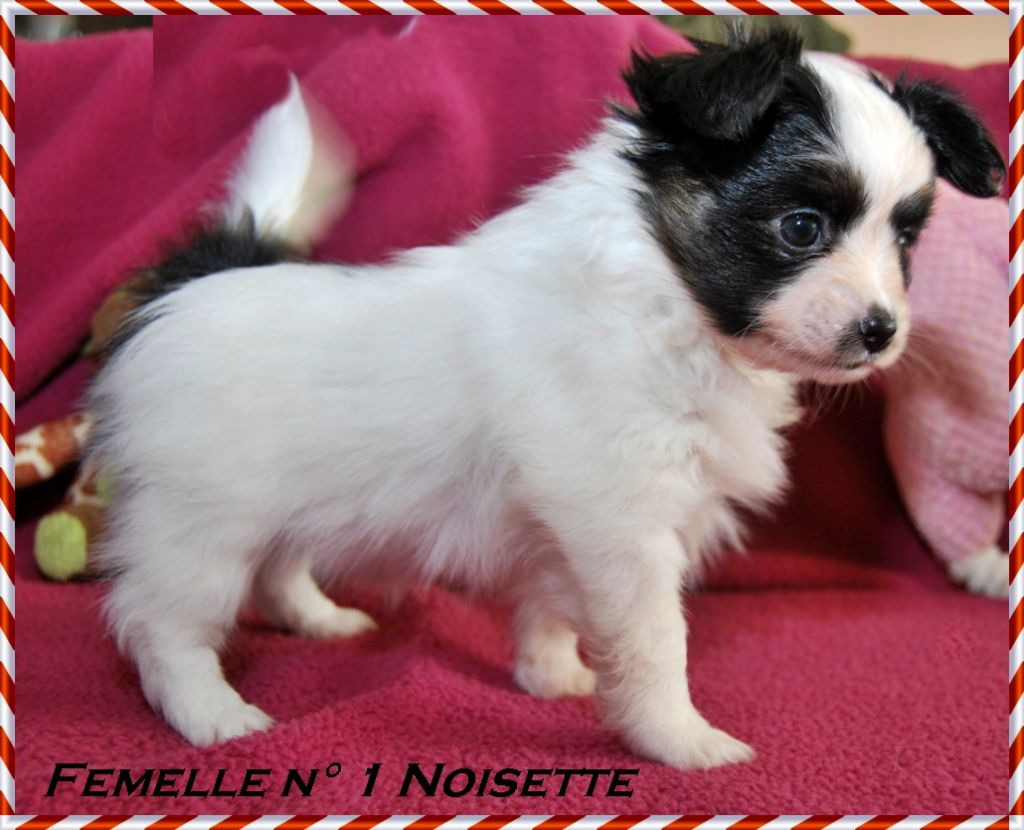 NOISETTE - Epagneul nain Continental (Papillon)