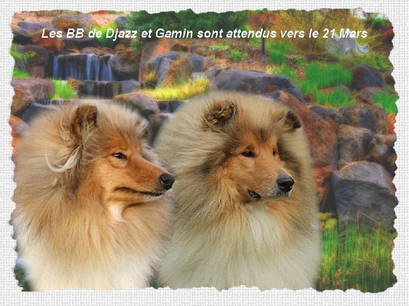 de la Vallée de l'Aisne - Colley à poil long - Portée née le 23/03/2012