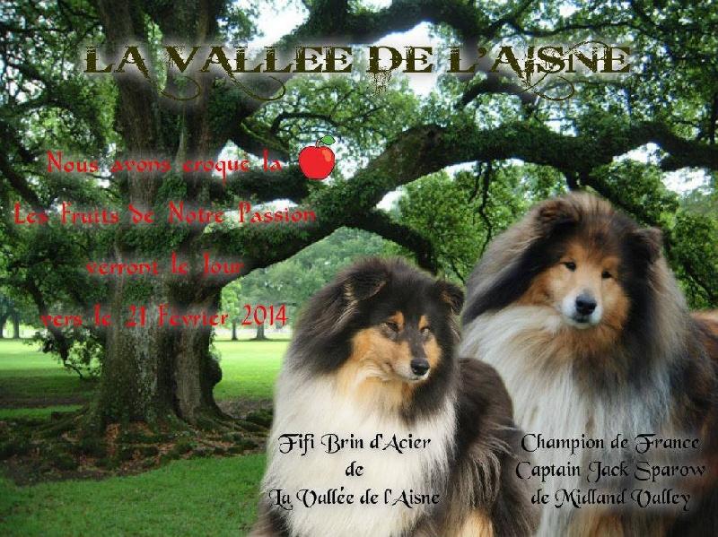 de la Vallée de l'Aisne - Colley à poil long - Portée née le 18/02/2014