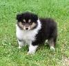 CHIOT Femelle n°2 Nessy black